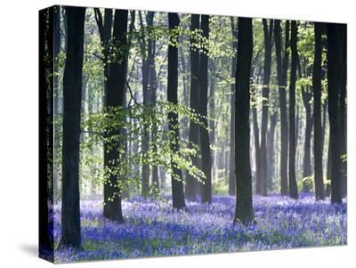 Bluebell Vision-Doug Chinnery-Stretched Canvas Print