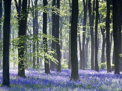 Bluebell Vision-Doug Chinnery-Photographic Print