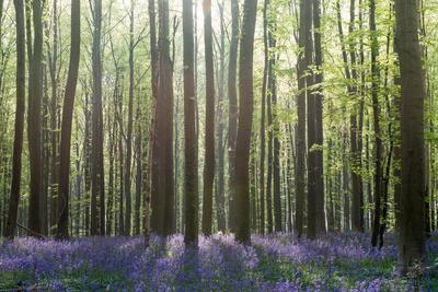 https://imgc.artprintimages.com/img/print/bluebell-wood-in-hallerbos-belgium-in-spring_u-l-q13f2x20.jpg?p=0