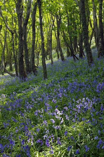 Bluebell Wood-Dr. Keith Wheeler-Photographic Print