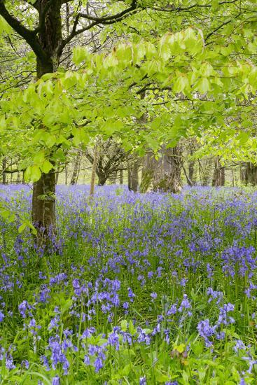 Bluebells Amongst Beech Trees in Spring--Photographic Print