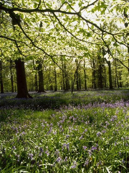 Bluebells and Beech Leaves in Oak Woodland, Forest of Dean, Gloucestershire-John Downer-Photographic Print