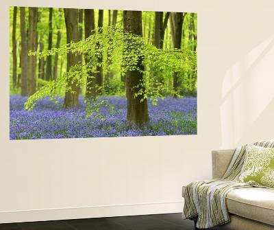 Bluebells and Beech Trees in West Woods, Wiltshire, England. Spring (May)-Adam Burton-Wall Mural