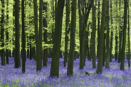 Bluebells at Dockey Wood on the Ashridge Estate-Alistair Laming-Photographic Print