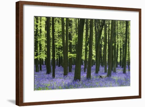 Bluebells at Dockey Wood on the Ashridge Estate-Alistair Laming-Framed Photographic Print