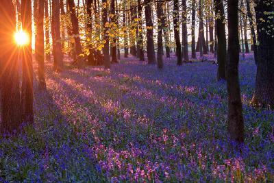 Bluebells at Sunset-Inguna Plume-Photographic Print