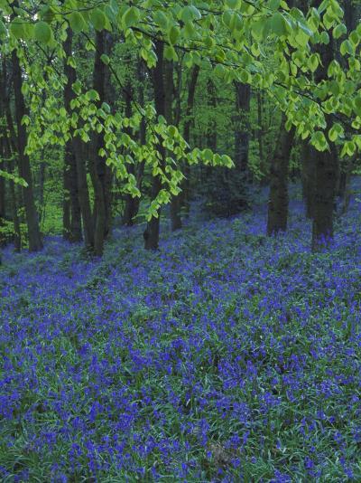 Bluebells, En Masse in Beech Woodland, UK-Mark Hamblin-Photographic Print
