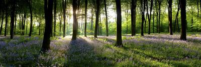 Bluebells Growing in a Forest in the Morning, Micheldever, Hampshire, England--Photographic Print