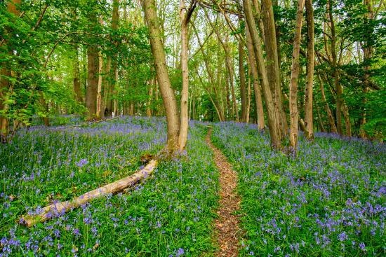 Bluebells, High Littleton Woods, Somerset, England, United Kingdom, Europe-Bill Ward-Photographic Print