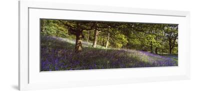 Bluebells in a Forest, Newton Wood, Texas, USA--Framed Photographic Print
