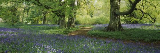 Bluebells in a Forest, Thorp Perrow Arboretum, North Yorkshire, England--Photographic Print