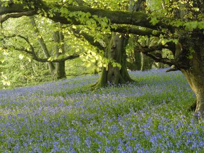 Bluebells in Carstramon Wood, Fleet Valley, Dumfries and Galloway, Scotland-Gary Cook-Photographic Print
