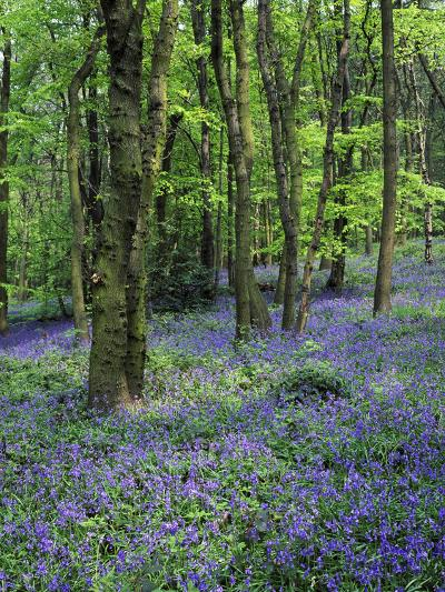 Bluebells in Deciduous Woodland, UK-Mark Hamblin-Photographic Print
