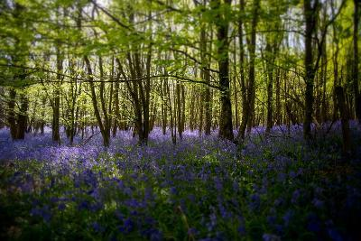Bluebells in Woods-Rory Garforth-Photographic Print