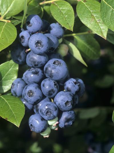 Blueberries, 'North Blue' Variety-Wally Eberhart-Photographic Print