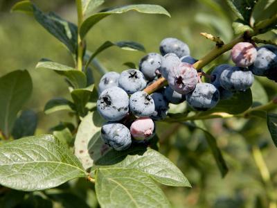 Blueberries on Blueberry Bush-Tim Laman-Photographic Print