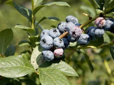 https://imgc.artprintimages.com/img/print/blueberries-on-blueberry-bush_u-l-p2vd2z0.jpg?p=0