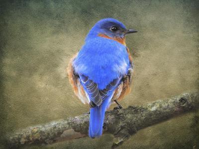 Bluebird Portrait-Jai Johnson-Giclee Print
