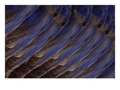 Bluebird Wing (detail)-Judy Tuwaletstiwa-Premium Giclee Print