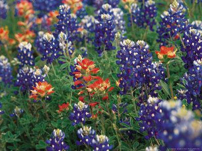 Bluebonnets and Paintbrush, Hill Country, Texas, USA-Dee Ann Pederson-Photographic Print