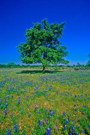 Bluebonnets in bloom with tree on hill, Spring Willow City Loop Road, TX--Photographic Print