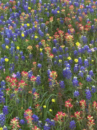 Bluebonnets, Paintbrushes and False Dandelion Near Cat Spring, Texas, Usa-Tim Fitzharris-Photographic Print