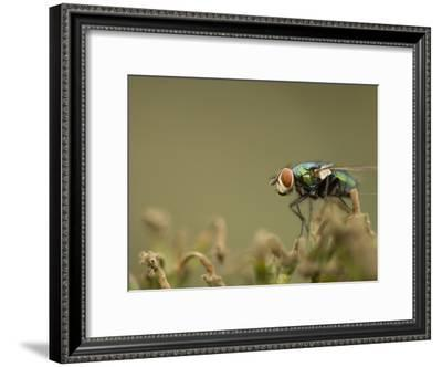 Bluebottle Fly Perched on a Plant in a Suburban Garden-Paul Sutherland-Framed Photographic Print
