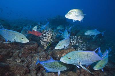 Bluefin Trevally (Caranx Melampygus) and Leather Bass (Dermatolepis Dermatolepis)-Reinhard Dirscherl-Photographic Print