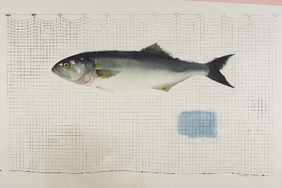 Bluefish in Net-Claus Hoie-Giclee Print