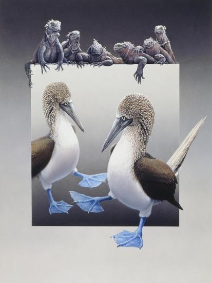 Bluefooted Boobies and Marine Iguanas-Harro Maass-Giclee Print