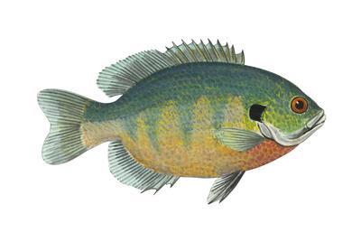 https://imgc.artprintimages.com/img/print/bluegill-lepomis-macrochirus-fishes_u-l-q135hrl0.jpg?p=0