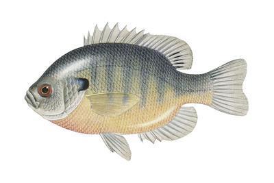 Bluegill (Lepomis Macrochirus), Fishes-Encyclopaedia Britannica-Art Print