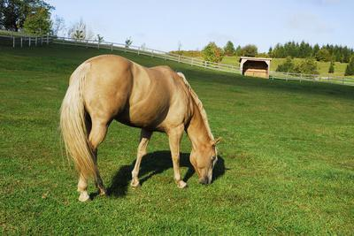 A Palomino Horse Grazes In A Summer Pasture