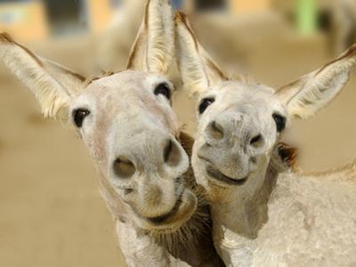 Donkey Duo by Blueiris