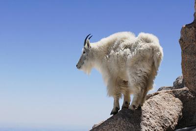 Mountain Goat On A High Mountain Ledge