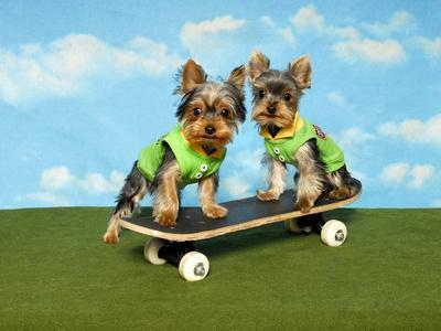 Yorkies On A Skateboard