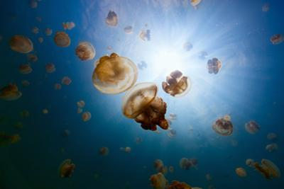 Underwater Photo of Endemic Golden Jellyfish in Lake at Palau. Snorkeling in Jellyfish Lake is a Po by BlueOrange Studio