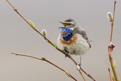 Bluethroat Singing-Ken Archer-Photographic Print
