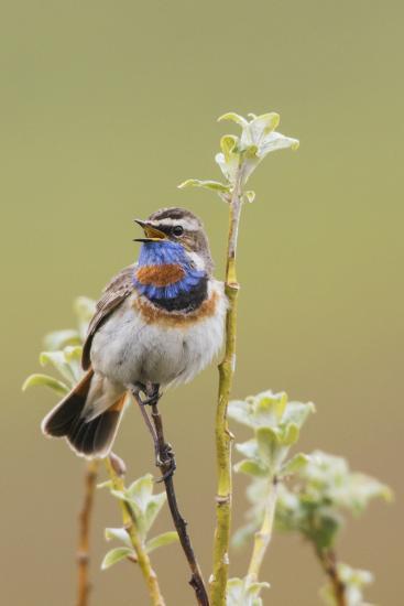 Bluethroat Singing-Ken Archer-Photographic Print