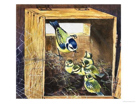 Bluetits--Giclee Print