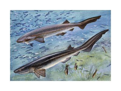 Bluntnose Sixgill Shark or Cow Shark (Hexanchus Griseu), Hexanchidae--Giclee Print