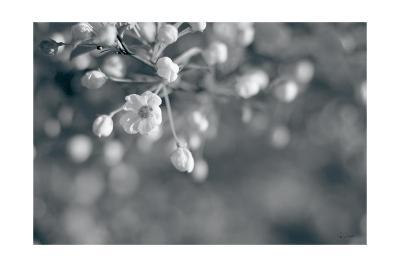 Blush Blossoms II BW-Sue Schlabach-Art Print
