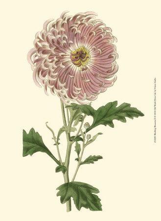 https://imgc.artprintimages.com/img/print/blushing-blossoms-ii_u-l-f3r4va0.jpg?artPerspective=n
