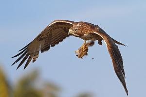 Red-Tailed Hawk with Baby Squirrel by bmse