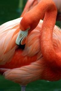 A Pink Flamingo Grooming Herself at Sea World, Orlando, Florida by Bo Vilmos Widerberg