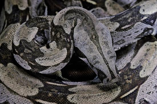Boa Constrictor Constrictor-Paul Starosta-Photographic Print