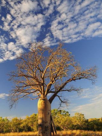 https://imgc.artprintimages.com/img/print/boab-tree-kimberley-western-australia-australia-pacific_u-l-p7uf9w0.jpg?p=0