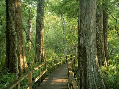 Boardwalk Through Forest of Bald Cypress Trees in Corkscrew Swamp-James Randklev-Photographic Print