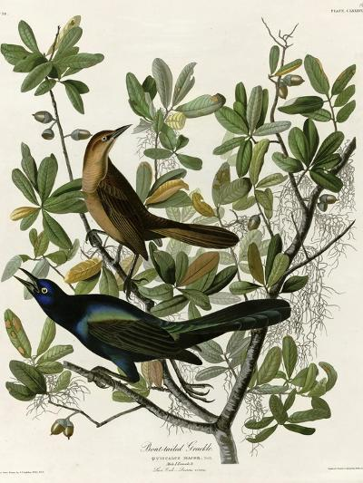 Boat Tailed Grackle--Giclee Print