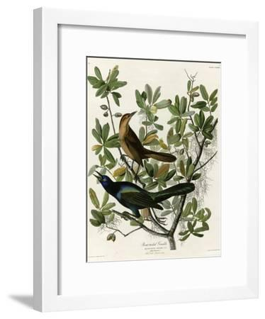 Boat Tailed Grackle--Framed Giclee Print